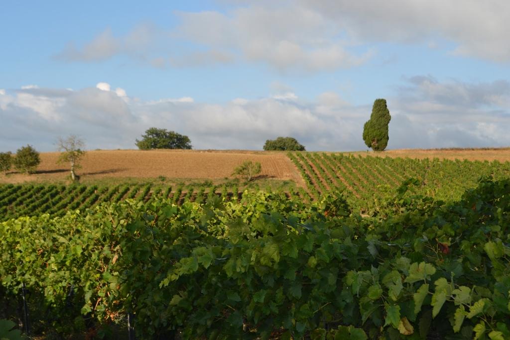 vignes du Mas des Combes à Gaillac